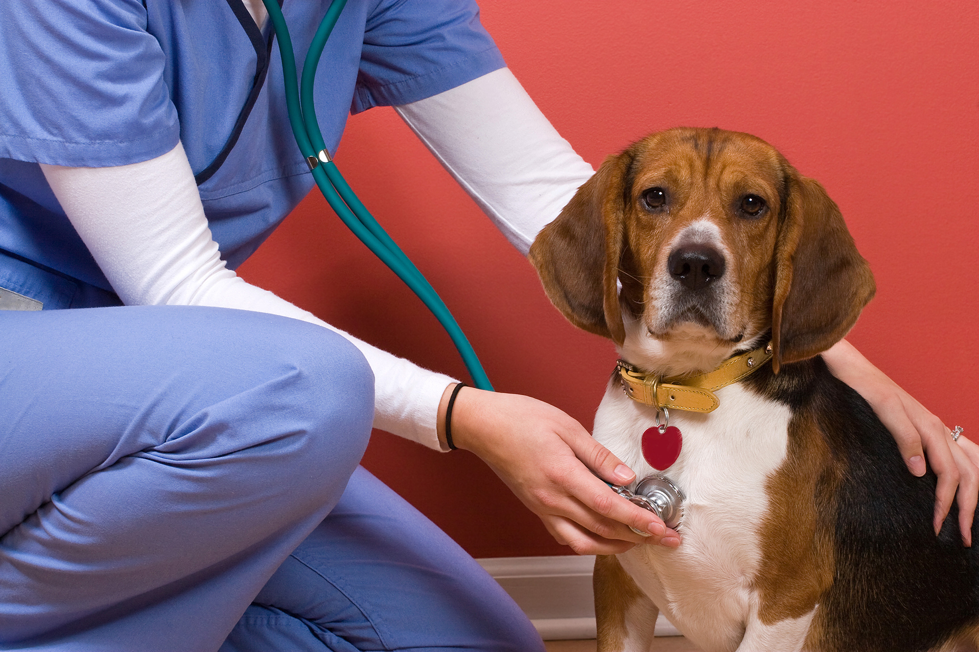 Descriptive image: a dog being examined with a stethoscope by medical staff